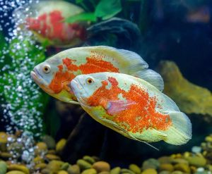 Can African Cichlids live with Oscars?