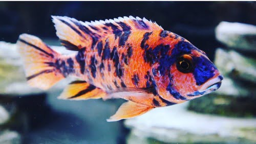 Why do african cichlids change colors