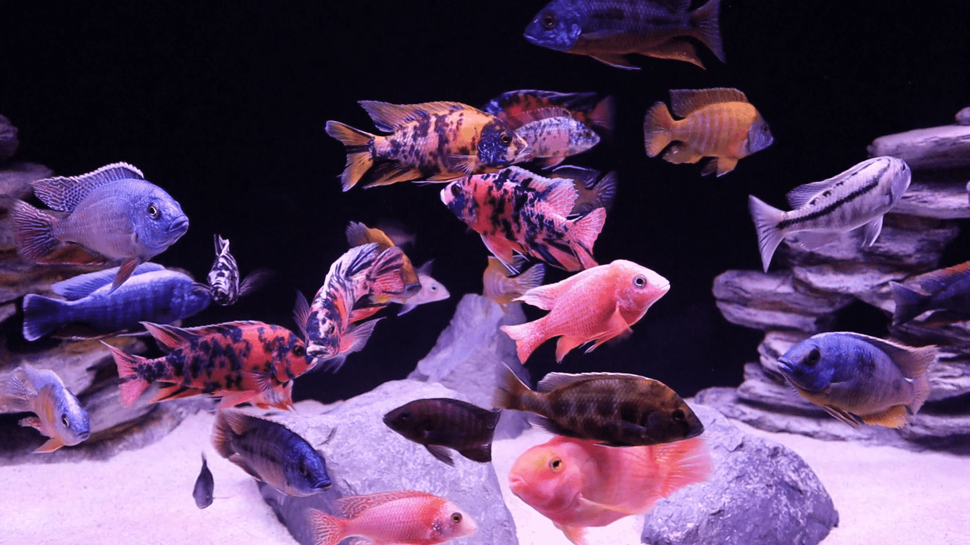 Mixing African and American Cichlids