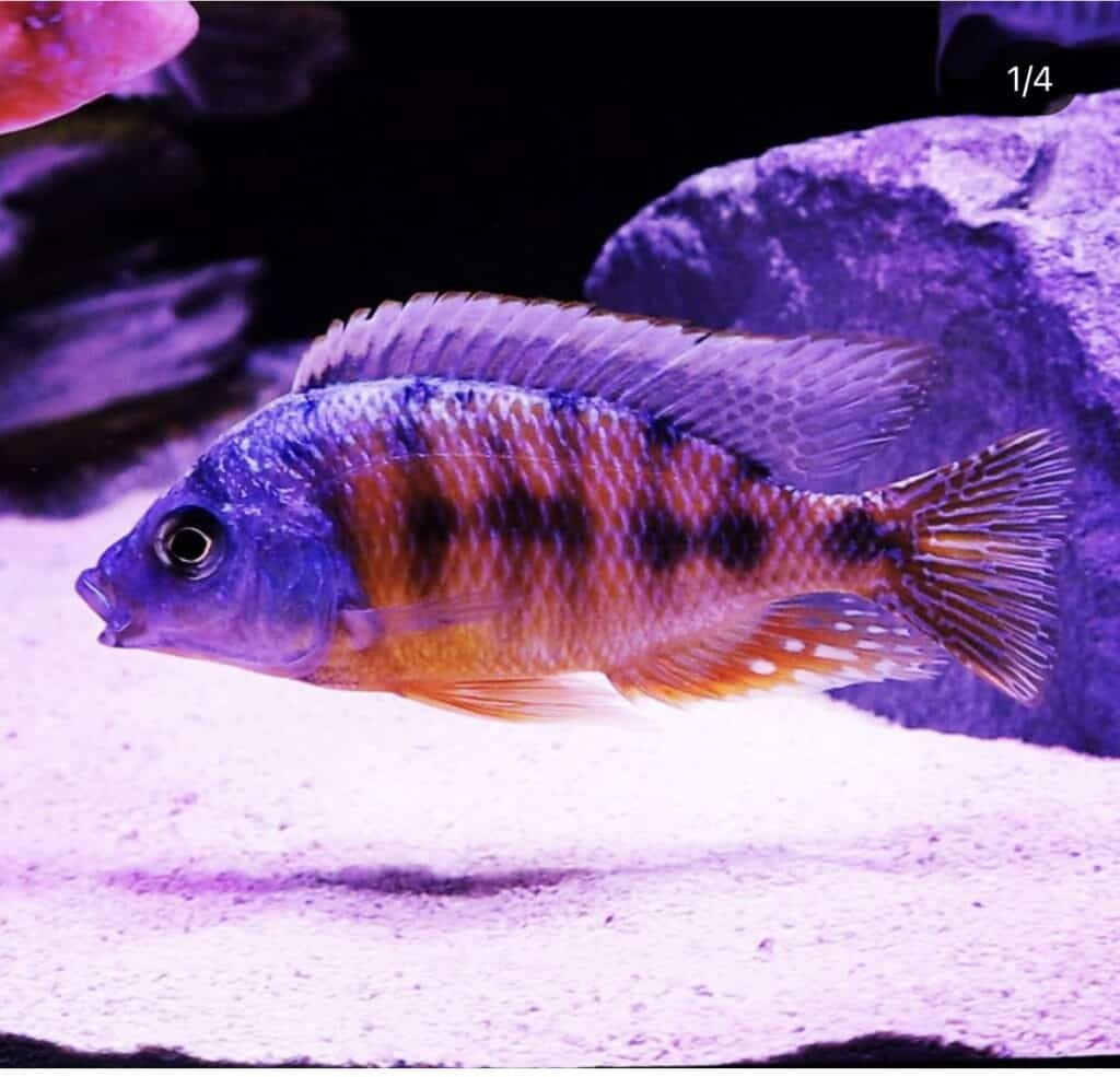 Taiwan Reef African Cichlid Hap